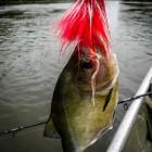 2015-02-03--34 Südamerika Piranha